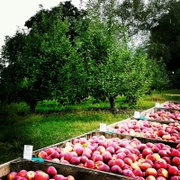 Apple picking at Hurds Farm